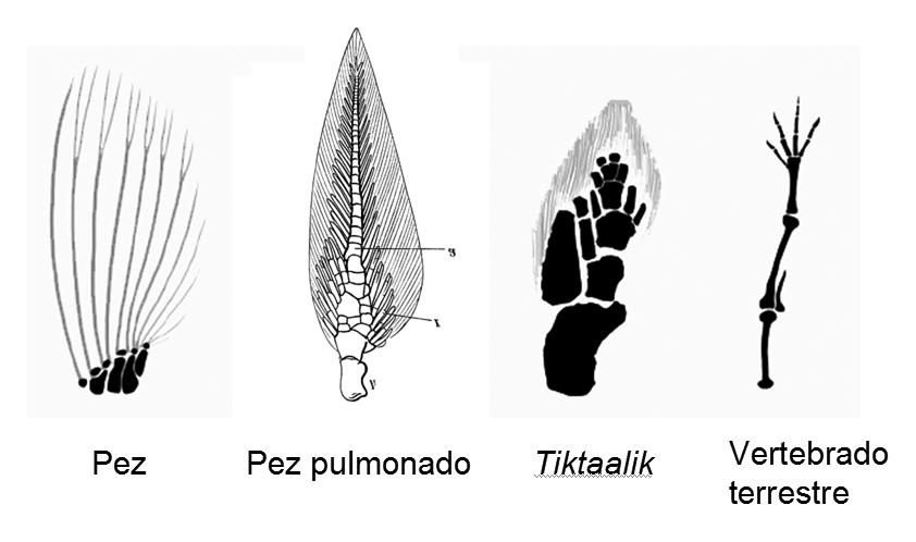 Resultado de imagen de tiktaalik evolucion